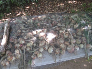 Onions drying in the shade.  A bit of screening keeps the critters away.