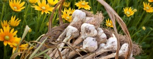 """""""Organic Garlic - Pre-order Now"""" says the Peaceful Valley catalog"""